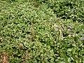 Rorippa nasturtium-aquaticum (Nasturtium officinale) (5003029756).jpg