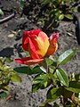 Rosa Piccadilly 2018-07-16 6598.jpg