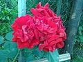 Rosa cultivars - 1001.jpg