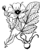 Rosa glauca illustration (01).png