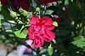 Rosa rugosa F. J. Grootendorst 1zz.jpg
