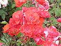 Rosa sp.219.jpg