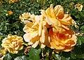 Rosarium Baden Rosa 'Bernsteinrose' Tantau 1987 02.jpg