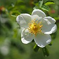 Rose, Rosa pimpinellifolia, バラ, ロサ ピンピネリフォリア, (16909453264).jpg