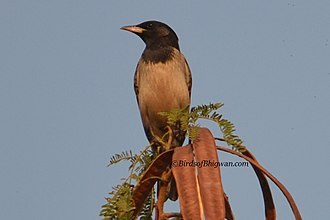 Rosy starling - Rosy Starling in Pune.