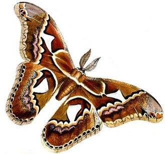 Ītzpāpālōtl - Rothschildia orizaba, the moth genus and species with which the Itzpapalotl goddess is associated