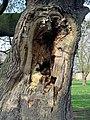 Rotting tree trunk Bruce Castle Park Tottenham, London, England 1.jpg