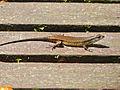 Rough Mabuya (Eutropis rudis) (15585088366).jpg