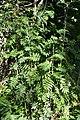 Rowan (Sorbus aucuparia) - Oslo, Norway 2020-08-24.jpg