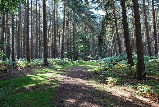 Rowney Warren Woods Near Chicksands - geograph.org.uk - 2581447