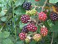 Rubus fruticosus wetland 18.jpg