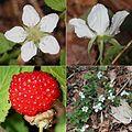Rubus hirsutus (Montage s2).jpg
