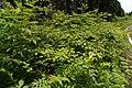 Rubus palmatus var. coptophyllus02.jpg