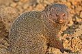 Ruddy Mongoose 2.jpg