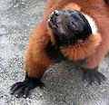 Ruffed Lemur 021.JPG