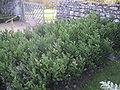 Ruscus aculeatus bugelenn liliacea (fragon).JPG