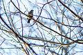 Rusty blackbird (24640847999).jpg