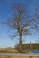Südliche der zwei Winterlinden an der B30 in Heidenreichstein 2014-03 NÖ-Naturdenkmal GD-138.jpg