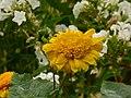 Słoneczniczek szorstki. (Heliopsis helianthoides) 03.jpg