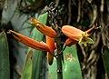 SDC11433 - Aloe plicatilis.JPG