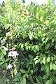 SZ 深圳 Shenzhen 南山區 Nanshan 蛇口體育中心 Shekou Sports Center Sept 2017 IX1 white flowers 34.jpg