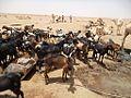 Sahara goats.jpg