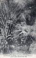 Saint-Pierre, Palmeraie du jardin botanique.png