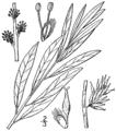 Salix humilis var tristis BB-1913.png