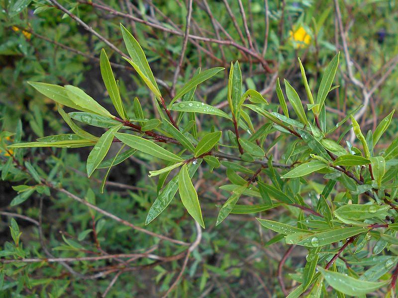 File:Salix purpurea Nana 2017-05-05 9359.jpg