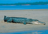 Saltwater crocodile on a beach in Darwin, NT