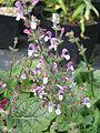 Salvia hierosolymitana - Flickr - peganum (4).jpg