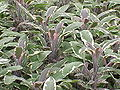 Salvia officinalis3.jpg