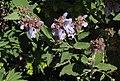 Salvia pomifera RF.jpg