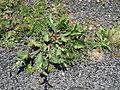 Salvia verbenaca plant1 ST (16123080572).jpg