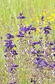 Salvia viridis - Zarif Şalba 02.jpg