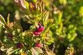 Sankt Blasien - Köpfle - Heidelbeere (Vaccinium myrtillus).jpg