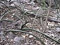 Sansevieria sp. Mount Panda 1 (10961914975).jpg