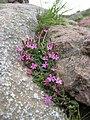 Saponaria ocymoides subsp alsinoides.jpg