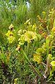 Sarracenia flava kz2.jpg