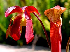 Sarracenia rubra flower and pitcher