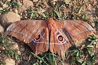 <i>Imbrasia epimethea</i> Species of moth