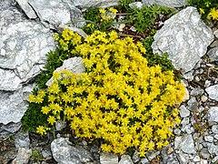 Saxifraga aizoides Tauerntal 01.jpg