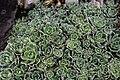 Saxifraga paniculata spring.JPG