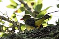 Scarlet Tanager (female) Smith Oaks High Island TX 2018-04-15 09-38-27 (41229177834).jpg