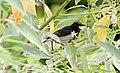 Scarlett-colarred-flowerpecker2.jpg