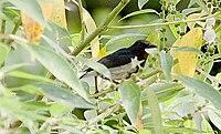 Scarlett-colarred-flowerpecker2