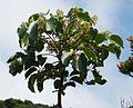 Schefflera rodriguesiana 2.jpg