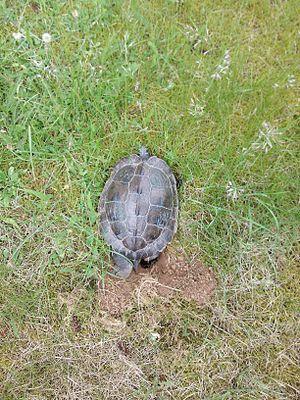 False map turtle - Image: Schildkröte Kl U 2012 001