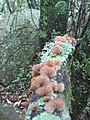 Schizophyllum 561588.jpg