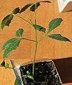 Sclerocarya birrea seedling II, by Omar Hoftun.jpg